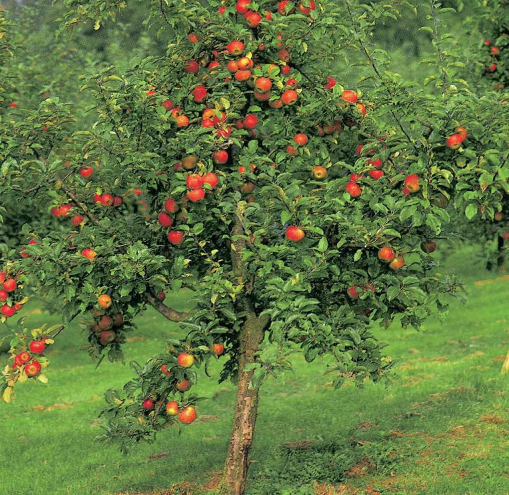 Картинка яблоня в саду