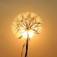 одуванчик на солнце фото