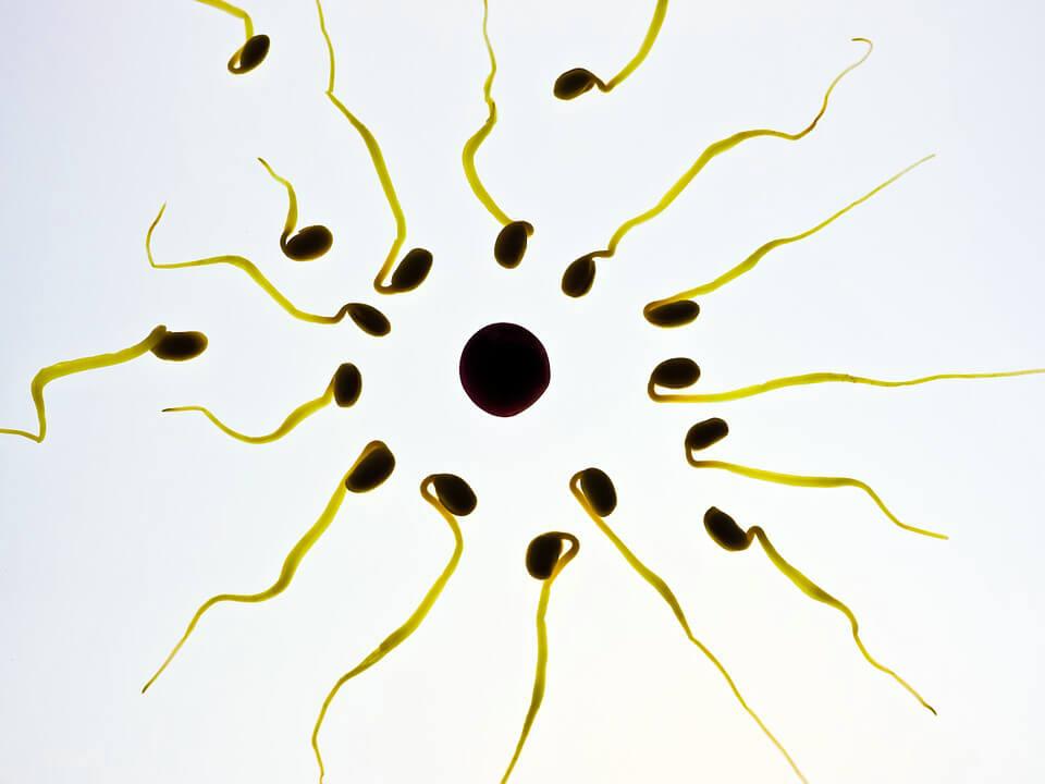 картинка яйцеклетка и сперматозоиды