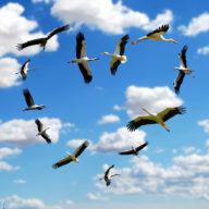 фото аисты в небе