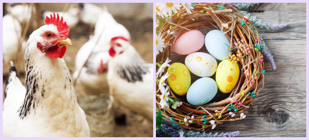 коллаж курица и яйца