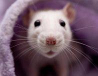 встречать 2020 год Белой Крысы