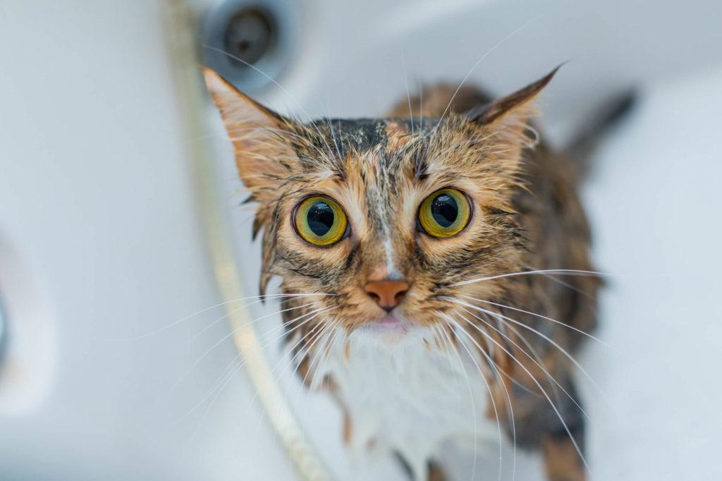 мытый кот