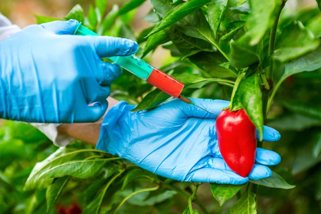 генетически модифицированные продукты перец